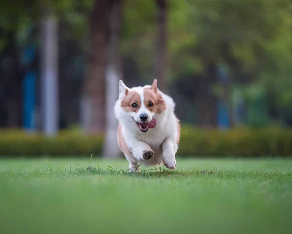 Running Dog on a green grass